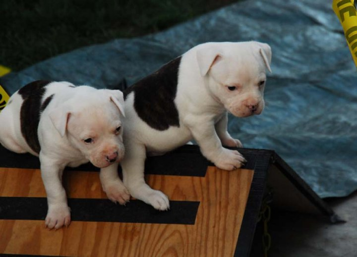Norcal's American Bulldog puppies play on A-Frame - future dog agility stars!