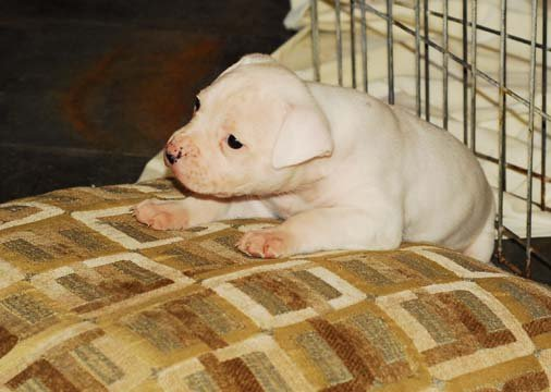 Norcal's Ameircan bulldog puppies get lots of socialization