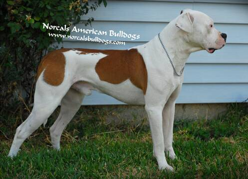 Home of Nor Cal's American Bulldogs