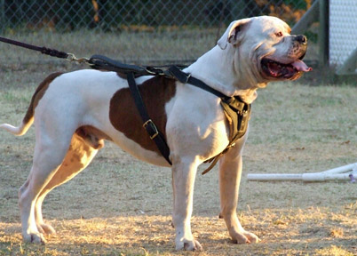 Norcal's American Bulldogs - Planned Breedings